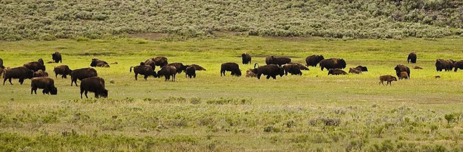buffalo8